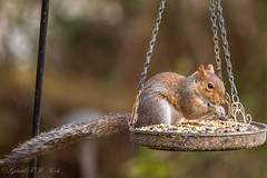 The Food is Excellent (Gabriel FW Koch) Tags: animal birdfeeder seeds eathing paws feet outdoor outside tail squirrel rodent wild wildlife cute golden fur garden sigma dof eos wow telephoto canon eye bokeh