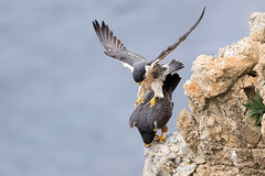 Almost There! (Patricia Ware) Tags: birdsinflight california canon ef400mmf4doisiiusmlens falcoperegrinus female fullframe handheld male pacificocean palosverdespeninsula peregrinefalcon httppwarezenfoliocom ©2017patriciawareallrightsreserved unitedstates us