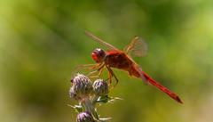 Red Dragon (Delbrücker) Tags: macro animal dragonfly makro libelle tier nikkor105mm nikond610