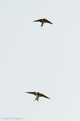 Rondini scatto al volo. Swallows shot on the fly (omar.flumignan) Tags: bird nature canon fly ngc natura 7d swallow uccello rondine ef100400f4556lisusm allnaturesparadise