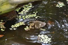 Mandarinente im  Dierenpark Emmen (Ulli J.) Tags: netherlands zoo nederland mandarin mandarinduck paysbas drenthe emmen niederlande mandarinente mandarijneend dierenparkemmen canardmandarin nederlandene