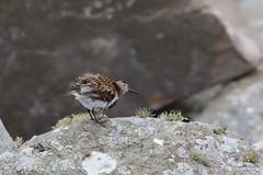 Dunlin / Bonte strandloper (Kees Waterlander) Tags: scotland unitedkingdom vogels gb shetland dunlin calidrisalpina foula bontestrandloper