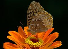 Looks like fall. (KsCattails) Tags: orange black flower macro nature blackbackground butterfly insect nikon tan kansas zinnia fritillary greatspangled overlandparkarboretum d7000 kscattails