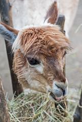 20150823_29 - Hunger (grasso.gino) Tags: alpaca nature animals zoo tiere nikon eating natur llama lama dortmund fressen alpaka d3000