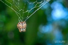 Crab orb weaver (Aspidolasius branicki) - DSC_4307 (nickybay) Tags: peru peruvianamazon amazon macro tambopata tambopataresearchcenter orb weaver spider aspidolasius araneidae branick branicki