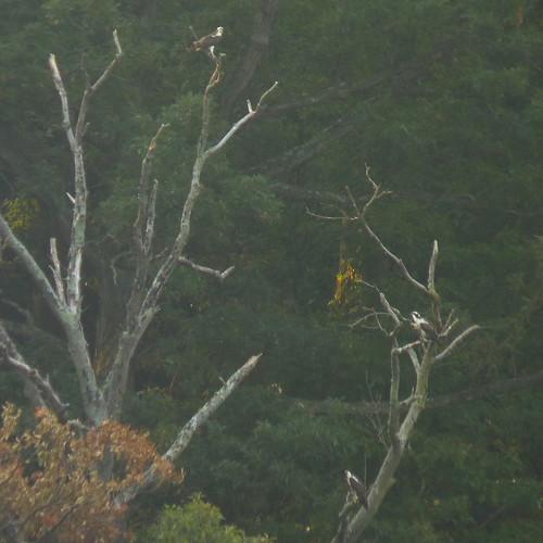 Three Osprey