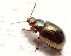 Volk käfer (von8itchfisk) Tags: macro bug volkswagen insect beetle whitebackground handheld battisford vonbitchfisk