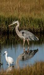 Blue Heron (Mackoto) Tags: reflection bird nature water grass birds island massachusetts flight plum reserve egret sigma70300mm d3200