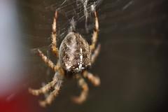 CSC_1525 (ItFactorScott) Tags: hairy macro warning garden spider blurry nikon close spiders web arachnid 40mm nikkor arachnophobia araneusdiadematus gardenspider 8legs blurtastic arachnaphobe unsteadyhands nikond90 2spooky4me