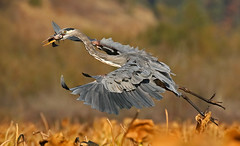 GBH - Fish Are Food, not Friends (ken.helal) Tags: 20151003heron