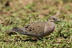 Zenaida auriculata - Eared Dove (Roger Wasley) Tags: brazil bird birds brasil lodge pousada pantanal allegre neotropical neotropic eareddove zenaidaauriculata