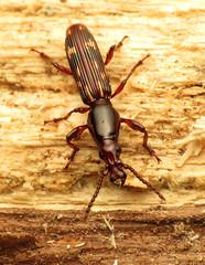 Oak Timberworm Male (treegrow) Tags: nature insect washingtondc beetles rockcreekpark arthropoda coleoptera lifeonearth raynoxdcr250 brentidae arrhenodesminutus canonspeedlite430exii taxonomy:binomial=arrhenodesminutus canonpowershotsx40hs