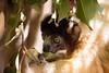 LEMUR-PARK-88 (RAFFI YOUREDJIAN PHOTOGRAPHY) Tags: park city travel trees plants baby white cute green animal fauna canon river jumping sweet turtle wildlife bricks mother adorable adventure explore lemur 5d lemurs bushes madagascar 70200 antananarivo mkiii