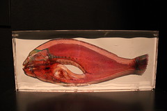 Science World - October 15, 2015 (rieserrano) Tags: fish crosssection bodyworlds plastination