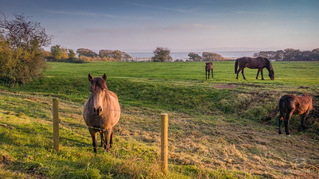 Ponies by the Solent