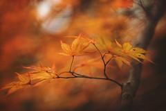 Ode to Autumn (Tammy Schild) Tags: autumn orange tree fall nature leaves branch japanesemaple