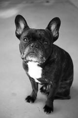 11-16-15 (2213) Good Morning! (Lainey1) Tags: bw dog monochrome oz sigma bulldog frenchie frenchbulldog 365 ozzy foveon frogdog 2213 lainey1 zendog foveonsensor elainedudzinski dp3m sigmadp3m ozzythefrenchie theseventhyear 2213oz