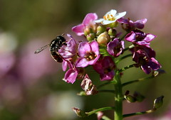 Sweet Alyssum (TJ Gehling) Tags: plant flower insect fly hoverfly alyssum syrphidae brassicaceae diptera brassicales