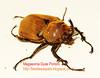 A giant rhino beetle, megasoma gyas porioni, male (Radio Ga Ga Broadcasts Again) Tags: uk london giant unitedkingdom sale breeding exchange larvae rhinobeetle goliathbeetle flowerbeetle insectphotography dynastinae megasomagyasporioni exotictropicalbeetle breedingtips breedingreports