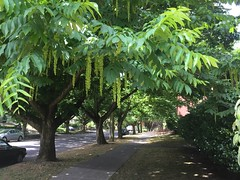 IV Pterocarya flowers and foliage (Urban Forestry) Tags: flowers tree leaves foliage irvington wingnut 2015 pterocarya