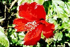 Hibiscus Rosa-Sinensis - Parque do Córrego Grande - Florianópolis-SC - Fotografado por Regis Silbar em 16-07-2013 (Regis Silbar) Tags: sc florianópolis flor hibiscusrosasinensis hisbisco florvermelha