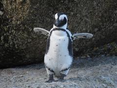 Penguin (Prosthetic_Head) Tags: bird birds animal animals southafrica outdoors wildlife capetown sa