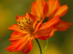 Orange Cosmos (Shelley Huang) Tags: nature sunshine kaohsiung orangeflower cosmos  cosmosbipinnatus qiaotou