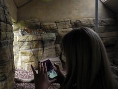 LONDON 07 B 174 copia (Cazador de imgenes) Tags: inglaterra summer england london zoo photo nikon foto tiger streetphotography agosto londres verano angleterre streetphoto londra tigre reino unido inghilterra 2015 p7000