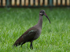 Glossy Ibis (ChongBT) Tags: nature animal wildlife escapee feral bird avian malaysia kuala lumpur ibis glossy olympus e5 50200 ec20