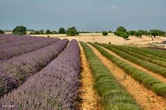 ... Valensole: raccolto della lavanda .. in corso (antosti) Tags: francia provenza valensole raccolto lavanda campi coltivazione terreno colori alberi nikon d70s