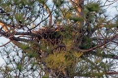 LL & H nest report (doc ellen) Tags: ladylake jordanlake jordanlakestatepark baldeagle brooding baldeaglebrooding eagle nest
