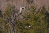 7K8A8985 (rpealit) Tags: scenery wildlife nature new york state bald eagles bird