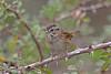 Swamp Sparrow (Alan Gutsell) Tags: swamp sparrow swampsparrow emberizine songbird alan georgebushpark texas texasbirds migration park