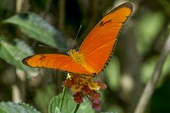 Julia Butterfly in my garden (PriscillaBurcher) Tags: dryasiulia juliabutterfly juliaheliconian theflame flambeau mariposaflama nymphalidae butterfliesfromcolombia mariposasdecolombia l1030465