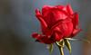 A Sunday Rose (AnyMotion) Tags: rose rosa badnauheim blossom blüte 2016 plants pflanzen anymotion nature natur blumen floral flowers macro makro frankfurt 7d2 canoneos7dmarkii garden garten colors colours farben red rot makroaufnahmen winter hiver invierno