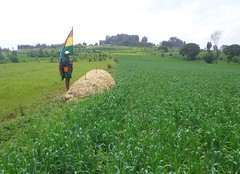 Compost in demonstration plot (right side ISFM, left side farmer practice) (isfm ethiopia) Tags: 2016 amhara compost gozamin wheat field demonstration