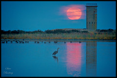 Great Blue Heron Looking at December Super Moon Reflection in Gordon's Pond (stevebfotos) Tags: hdr supermoon wetlands towers geese moonrise topaz moon gordonspond heron wwii greatblueheron lewes delaware unitedstates us