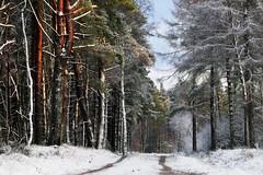 WHITE STRIPES (SwaloPhoto) Tags: forestry commission devilla forest fujixt1 scotspine snow trees winter scotland fife formatt hitech firecrest polariser fujinonxf18135mm f3556rlmoiswr trunks track