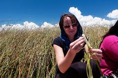 Świeża trzcina Totora | Fresh totora reed
