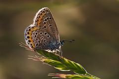 Plebejus argus (2) (JoseDelgar) Tags: insecto mariposa plebejusargus josedelgar coth5 coth thegalaxy