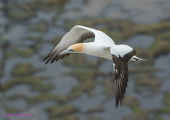Gannet in flight at Muriwai (1 of 1) (Hickenbothom) Tags: gannet australasian morus serrator takapu seabird new zealand