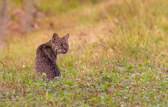 Sunset Reveal (But Wary) (SDRPhoto321 Back from the field) Tags: atlantic art animal botanical black dof depthoffield dark canon color colorful eos expression eye elevated eyes exposure florida fest great haven inspiring light lands bobcat mighty new national nature circlebbarreserve