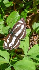 Kis fehérsávoslepke (Neptis sappho) (jetiahegyen) Tags: lepke túra túrázás kirándulás hiking tour bakony butterfly rovar