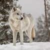 Single Grey Wolf (David Jones 2) Tags: grey wolves wolf gray yellowstone monatana usa snow winter dave jones