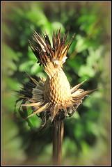 The Beauty of Nature (Deida 1) Tags: plant garden february uk staffordshire echinacea seedhead purpleconeflower