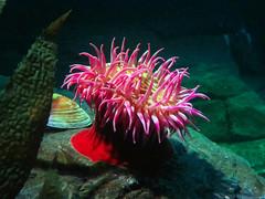 Sea Anemone, Ripley's Aquarium, Toronto, Ontario (duaneschermerhorn) Tags: anemone pink red green yellow colorful rock aquarium water sea creature