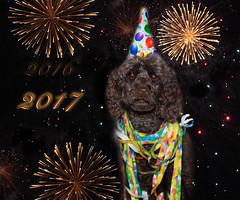 Ich brauche kein Silvester-Feuerwerk. Ich bin das ganze Jahr der Knaller. I do not need a New Year's fireworks. I am the whole year the bangers. (Simone Schloen ☞ www.bilderimkopf.de) Tags: silvester jahreswechsel hund pudel anton böller knaller raketen bunt neuesjahr feiern party fete celebration dog poodle new years eve yearchange newyear rocket bobs fireworks 2016 2017