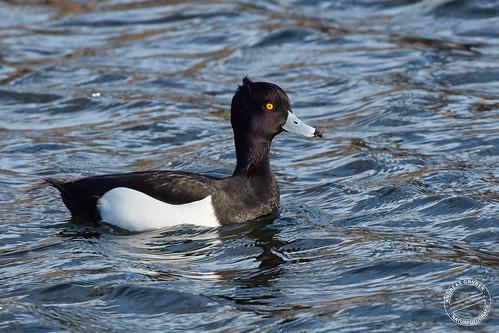 Reiherente - Tufted duck - Aythya fuligula