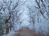 ALLES NUR REIF PC312330 (hans 1960) Tags: reif icy cold kalt frost frosty trees bäume nature natur weg way allee weis white germany ice winter januar 2017
