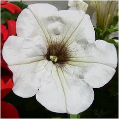 White flower (Soeradjoen) Tags: white wit garden tuin nature natuur flower bloem